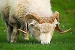 Merino Sheep (Ovis aries) ram grazing, Kaikoura, South Island, New Zealand