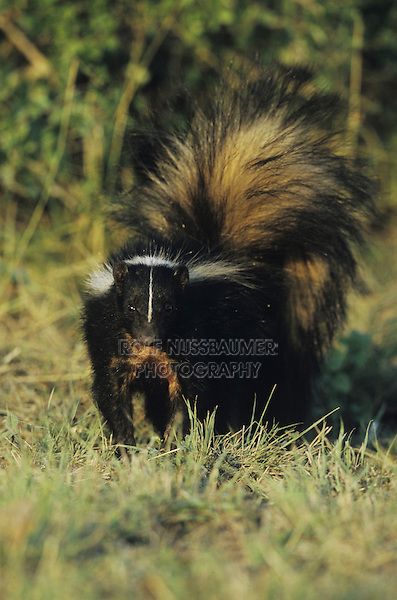 Striped Skunk (Mephitis mephitis), adult, Sinton, Coastel Bend, Texas, USA, April 2008