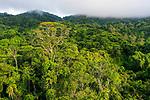 Semi-deciduous tropical moist rainforest canopy, Mamoni Valley, Panama