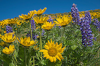 Balsamroot and Lupine wildflowers.  Early Spring (April), Eastern slope Cascade Mountains, WA.