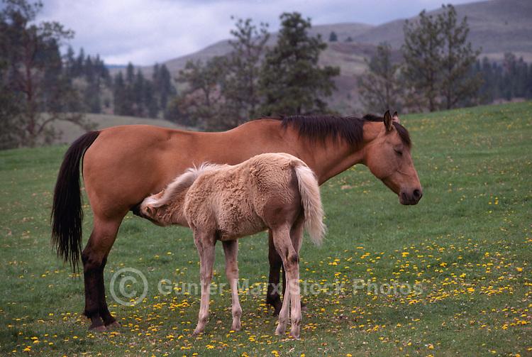 Mare nursing Foal in Pasture, Okanagan Valley, BC, British Columbia, Canada