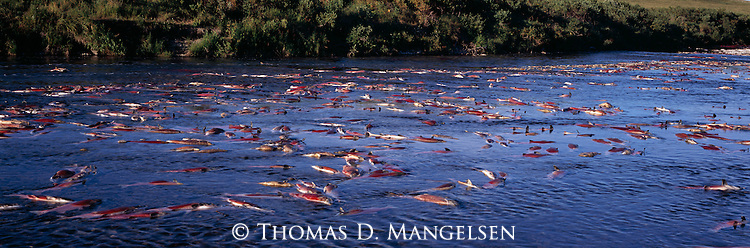 Sockeye salmon returning to the river on the Alaska Peninsula to spawn and eventually die.