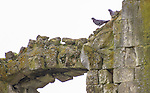 VMI Vincentian Heritage Tour: Pigeons roosting on the weathered sandstone as members of the Vincentian Mission Institute cohort tour the remains of the medieval castle Le château de Folleville, Wednesday, June 22, 2016, in northern France. The manor and castle of Folleville were the property of Philippe Emmanuel de Gondi. Vincent de Paul was the spiritual advisor to Phillippe's wife, Madame de Gondi. The site is also home of Church of Saint-Jacques-Le-Majeur et Saint-Jean-Baptiste, where Vincent spoke in 1617, a sermon credited for the creation of the Congregation of the Mission. (DePaul University/Jamie Moncrief)