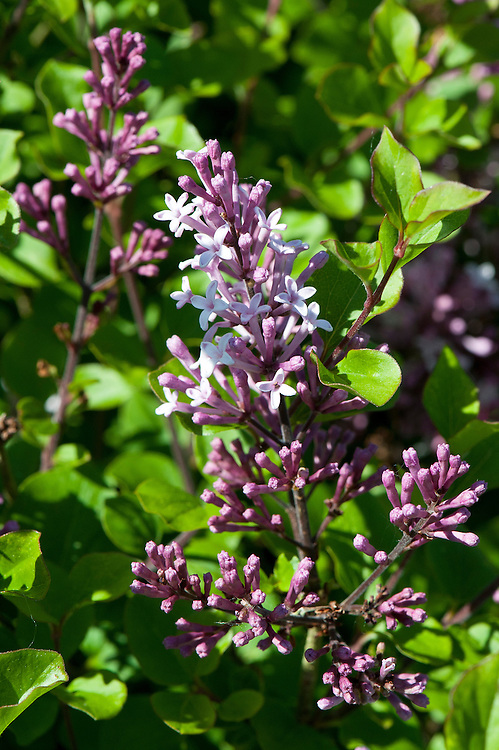 Lilac (Syringa meyeri 'Palibin' syn. S. palibiniana, S. patula, S. velutina), late April.