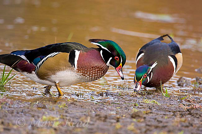 Wood Ducks (Aix sponsa), two males foraging at the side of a pond, Ohio, USA