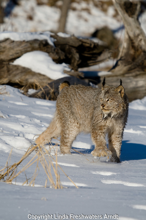 Canada lynx (Lynx canadensis) walking in the snow