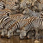 zebras nearby Seronera river