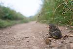A blackbird chick resting after narrowly avoiding being eaten by a kestrel.