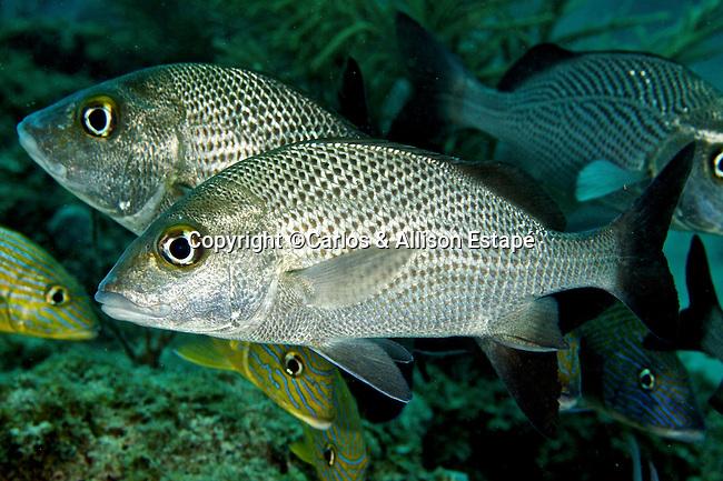 Haemulon parra, Sailors choice, Florida Keys