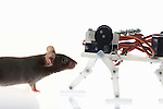 House Mouse (Mus musculus) and a mouse robot