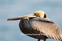 00672-00720 Brown Pelican (Pelecanus occidentalis), La Jolla cliffs, La Jolla, CA