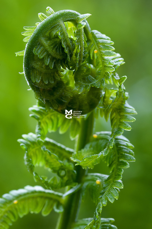 """Filldehead"" Fern Bloom"