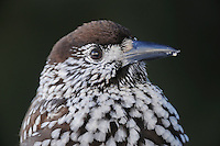 Spotted Nutcracker (Nucifraga caryocatactes), adult close up ruffled by minus 15 Celsius, Davos, Switzerland, December 2007
