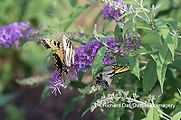03023-03118 Eastern Tiger Swallowtails (Papilio glaucaus) on Butterfly Bush (Buddleja davidii) Marion Co. IL