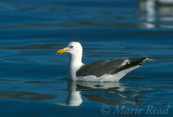 California Gull (Larus californicus) adult in breeding plumage, swimming, Mono Lake, California, USA<br /> Slide # B59-474