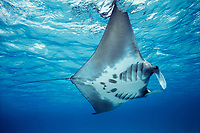 manta ray, Manta birostris, feeding at surface, West Caicos, Turks and Caicos, Caribbean Sea, Atlantic Ocean