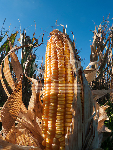 Fazenda Cagibi, Parana State, Brazil. Cob of ripe yellow sweetcorn against a blue sky.