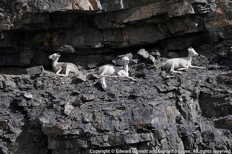 Three Dall sheep doze in the sunshine along the Kongakut River, in Alaska's Arctic National Wildlife Refuge.