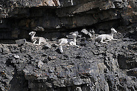 Three Dall sheep doze in the sunshine along the Kongakut River, in Alaska's Arctic National Wildlife Refuge.