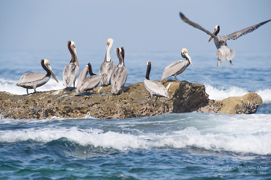 Children's Pool, La Jolla, California; several Brown Pelican (Pelecanus occidentalis) birds sit atop the exposed rocky reef at low tide as waves crash around them and another pelican flies in to join the group