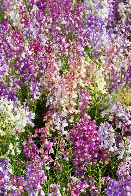 Linaria maroccana 'Fairy Bouquet'