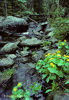 WF22-004b  Stream with marsh marigolds along it