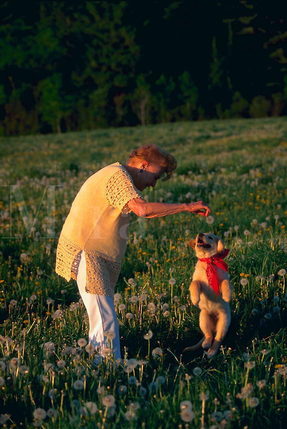 Senior woman playing with a golden retriever puppy, making him jump.