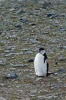 Antarctica expedition aboard the Hurtigruten FRAM ship. Chin Strap penguins at Half Moon Island. Half Moon Island is a two kilometer long (1.2 mile), crescent-shaped island in the shadow of the picturesque mountains and glaciers of nearby Livingston Island.