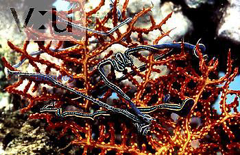 Ribbon Worm (Lineus) nemertean, Proboscis Worm