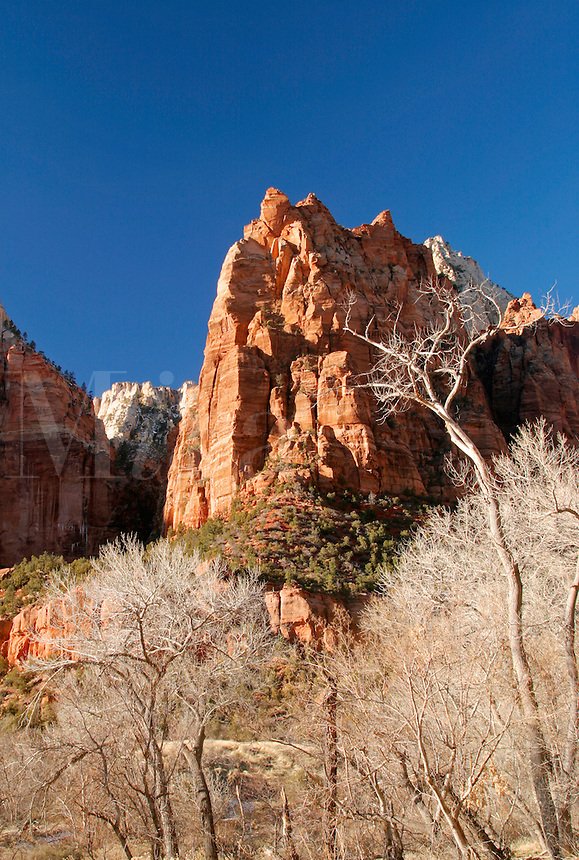 Cliffs of Mount Moroni above cottonwood trees, Zion National Park, Washington County, U