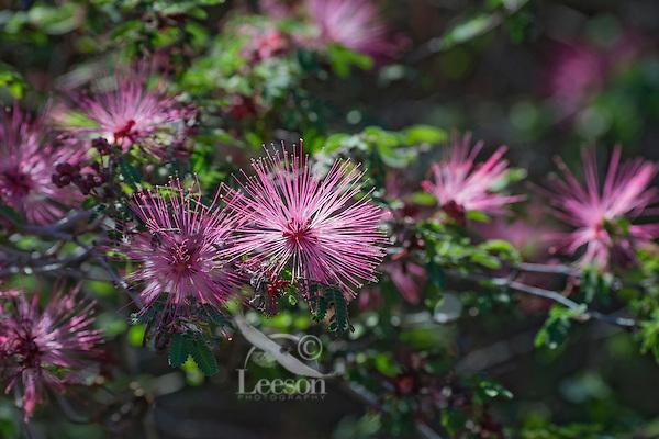 Fairy Duster (Calliandra eriophylla) common shrub native to deserts and arid grasslands in California, Arizona, New Mexico and Texas and Mexico.  Arizona,  Feb-March.