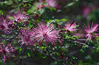 Fairy Duster (Calliandra eriophylla) common shrub native to deserts and arid grasslands in California, Arizona, New Mexico and Texas and Mexico.  Arizona,  Feb-March.