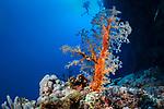 Alcyonaire (Lithophytum arboreum) of Red Sea.