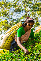 Sri Lanka-Tea plantations