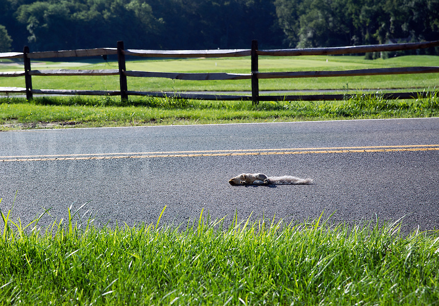 Roadkill squirril in road.