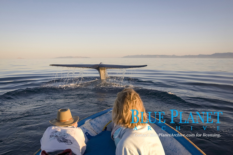 Blue whale, Balaenoptera musculus, Endangered Gulf of California Mexico, Pacific Ocean(mr)