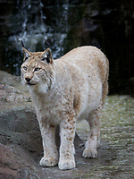 COPY BY TOM BEDFORD<br /> Pictured: A Eurasian Lynx. STOCK PICTURE <br /> Re: Dyfed-Powys Police has today been made aware that sometime over the last five days a female lynx has escaped from the Animalarium in Borth. Police are therefore advising public in the area to be alert and vigilant.<br /> The lynx is unlikely to approach people, but may attempt to take livestock or pets as food.<br /> We do however advise that the animal should not be approached as it could become aggressive if cornered. It is believed that the lynx remains in fairly close proximity to the Animalarium, but of course it could potentially go further afield.<br /> Any sightings should be reported by calling 101, or if the lynx is in the process of taking an animal, or appears caught or injured, then please call 999.