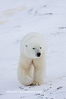 01874-11518 Polar Bear (Ursus maritimus) Churchill Wildlife Management Area,  MB