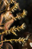 Kaltwasser-Gorgonie, Kaltwassergorgonie, Fächerkoralle, Paramuricea placomus, Climbing Fan Coral, Gorgonien, Hornkorallen, Seefächer, Gorgonie, Gorgonia, Korallen,  sea whips, sea fans