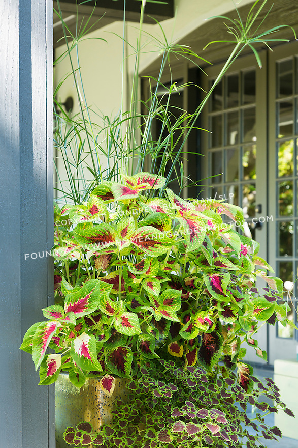 Tall grass contrasts with the green and red coleus in a container on the back deck. This image is available through an alternate architectural stock image agency, Collinstock located here: http://www.collinstock.com