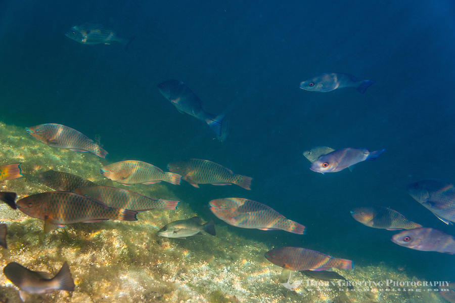 US, Florida, Key Largo. Tropical fish in the mangrove forest.