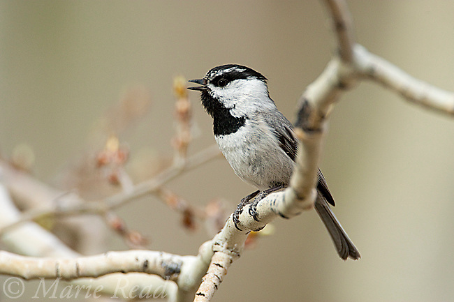 Mountain Chickadee (Poecile gambeli), singing while perched in aspen in early spring, Mono Lake Basin, California, USA