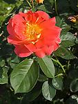 Condesa de Sastago Rose, Rosa hybrid