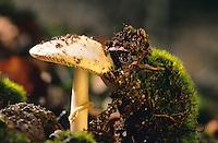 Gelber Knollenblätterpilz, Zitronengelber Knollenblätterpilz, Gelblicher Knollenblätterpilz, Gelber Wulstling, Knollen-Blätterpilz, Amanita citrina, Amanita mappa, false death cap, Citron Amanita