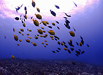 A shoal of various tropical fish swims under a dive boat  in Saipan. .Robert Gilhooly Photo
