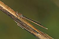 Sibirische Winterlibelle, Männchen, Sympecma paedisca, Siberian Winter Damsel, male, Le Leste enfant, Brunette sibérienne
