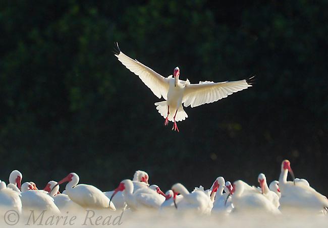 White Ibis (Eudocimus alba) landing in large flock, backlighting, Tampa Bay, Florida, USA.