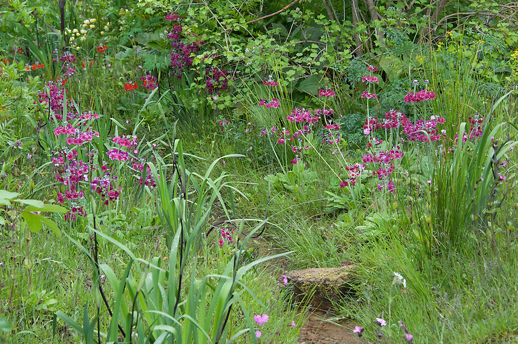 Maroon Primula pulverulenta (Mealy primrose) growing beside a woodland stream, mid May. The Laurent-Perrier Chatsworth Garden designed by Dan Perarson, RHS Chelsea Flower Show 2015.