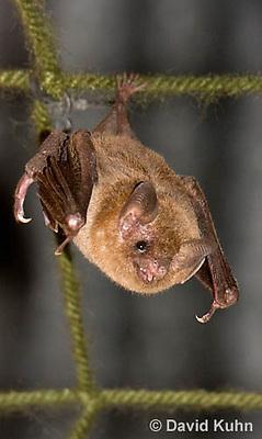 0715-1117  Seba's Short-tailed Bat, Roosting in Building in Belize, Carollia perspicillata  © David Kuhn/Dwight Kuhn Photography
