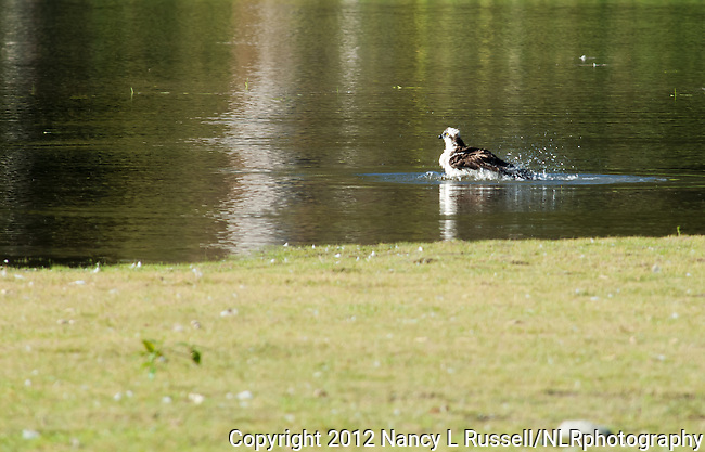 Osprey taking a bath in the pond at KNWR
